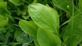 Plus grand plantain vert dans un pré avec l'herbe Un plus grand commandant de plantain ou de plantago est employé comme herbe méd banque de vidéos