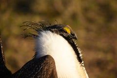 Plus grand Sage Grouse Male Detail Images libres de droits