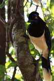 Plush crested Jay. A Plush crested Jay climbed on a tree branch in missiones iguazu Stock Photo