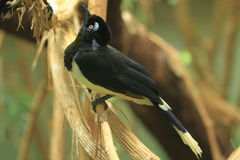Plush-crested jay Royalty Free Stock Photography