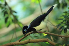 Plush-crested jay Stock Photography