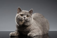 Plush Gray British Cat Lying, Curious Looks on Dark Background Stock Image