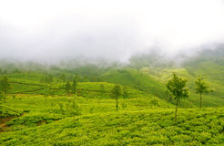 Plush Slopes of Tea Hills in Mist Stock Photos