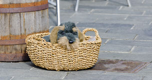 Plush toy like a wire-haired dachshund Stock Image
