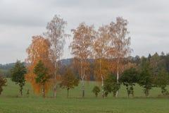 Plusieurs arbres de bouleau dans un domaine image stock