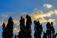 Plusieurs arbres grands se tiennent contre un ciel bleu Image libre de droits