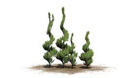 Plusieurs arbres topiaires de divers genévrier illustration libre de droits