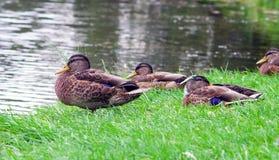 Plusieurs canards en parc pendant l'été Photos stock