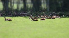 Plusieurs cerfs communs se reposant sur l'herbe dans le safari avec l'effet incliné de décalage banque de vidéos