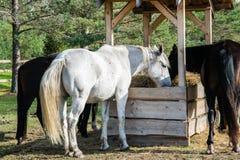 Plusieurs chevaux mâchant le foin dans le stylo photo stock