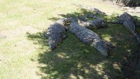 Plusieurs crocodiles se trouvent sur l'herbe à la nuance Image stock