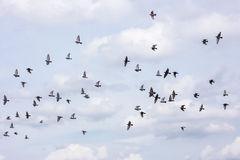 Plusieurs de pigeons pilotant le fond de ciel Image stock
