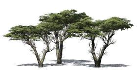 Plusieurs divers arbres de Monterey Cypress illustration de vecteur