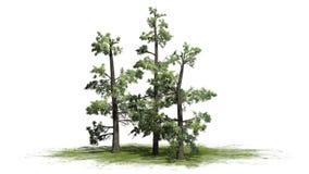 Plusieurs divers arbres orientaux de White Pine illustration libre de droits