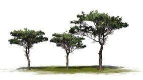 Plusieurs divers pins en pierre italiens illustration libre de droits
