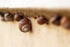 Plusieurs escargots rampent le long de la barrière dans le jardin Photo stock
