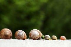 Plusieurs escargots rampent le long de la barrière dans le jardin Images stock