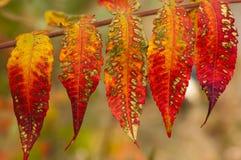 Plusieurs feuilles d'automne lumineuses variées Images libres de droits
