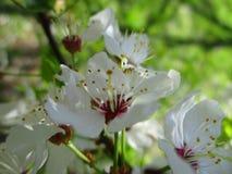 Plusieurs fleurs de mirabelle Images stock