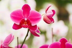 Plusieurs fleurs roses d'orchidée Photos stock