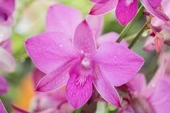 Plusieurs fleurs roses d'orchidée dans le jardin Fond de tache floue Photo stock