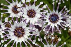Plusieurs fleurs violettes blanches dans la macro vue photographie stock libre de droits
