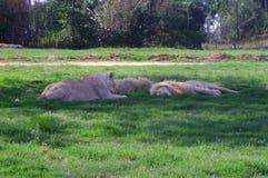 Plusieurs grands lions se reposent sur l'herbe verte Images stock
