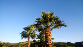 Plusieurs grands palmiers sur le fond de ciel bleu Photo libre de droits