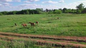 Plusieurs jeunes beaux chevaux frôlent le soir sur un pré au coucher du soleil, mouche de vue aérienne autour clips vidéos