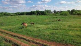 Plusieurs jeunes beaux chevaux frôlent le soir sur un pré au coucher du soleil, mouche de vue aérienne autour et se lèvent clips vidéos
