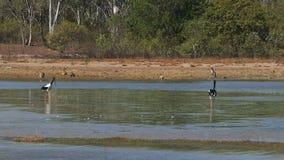 Plusieurs kangourous et une paire d'alimentation noir-étranglée de cigognes au billabong d'oiseau clips vidéos