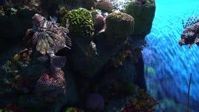Plusieurs lionfish, volitans de Pterois au fond de récif coralien dans l'aquarium banque de vidéos