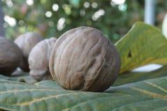 Plusieurs noix sur les feuilles de cet arbre images stock