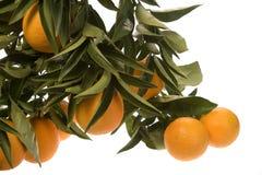 Plusieurs oranges s'élevant dans la batterie photos stock