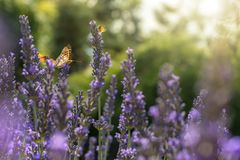 Plusieurs papillons volent au-dessus de la lavande ensoleillée photos libres de droits