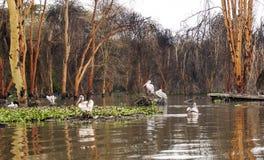 Plusieurs pelicanos Photos libres de droits