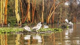 Plusieurs pelicanos Images libres de droits