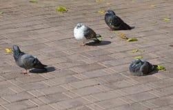 Plusieurs pigeons se reposent parmi les feuilles tombées sur une tuile de trottoir Image stock