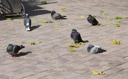 Plusieurs pigeons se reposent parmi les feuilles tombées sur une tuile de trottoir Photos stock