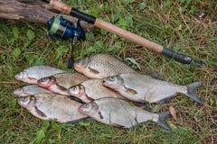 Plusieurs poissons communs de brème, poissons crucian, poissons de gardon, poissons mornes Photo stock