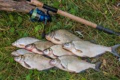 Plusieurs poissons communs de brème, poissons crucian, poissons de gardon, poissons mornes Image libre de droits