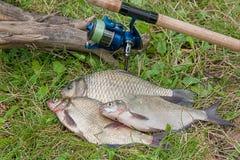 Plusieurs poissons communs de brème, poissons crucian, poissons de gardon, poissons mornes Images stock