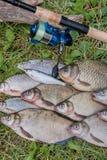 Plusieurs poissons communs de brème, poissons crucian, poissons de gardon, poissons mornes Photos libres de droits