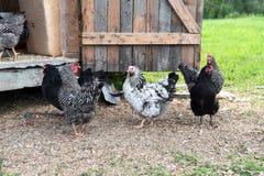Plusieurs poulets gratuits de gamme image libre de droits