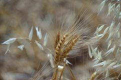 Plusieurs transitoires de blé et d'avoine sèche photographie stock