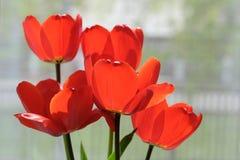 Plusieurs tulipes rouges de floraison Photos libres de droits