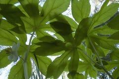pluskw wcześnie oka mayapple wiosna widok obraz stock