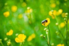Pluskwa na żółtym kwiacie Obraz Royalty Free