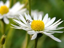 Pluskwa na białym kwiacie obraz stock