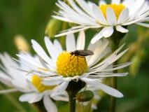 Pluskwa na białym kwiacie obraz royalty free
